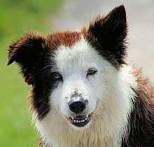 Face of Calico Dog